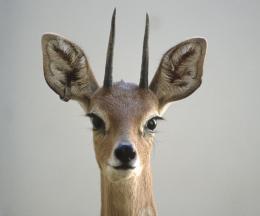 Southern Steenbok