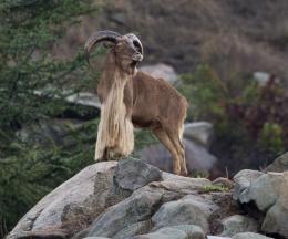 Sudan Barbary Sheep