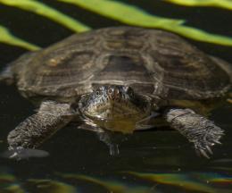 West African Mud Turtle