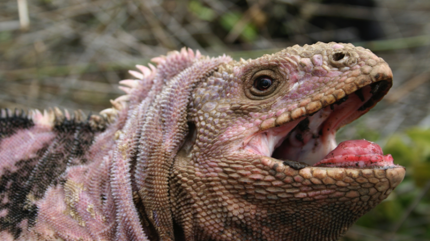 Tracking the critically endangered Pink Iguanas of the ...