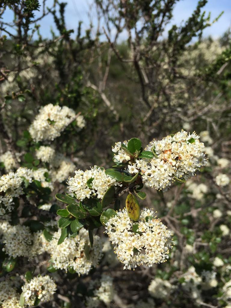 The wart-stemmed lilac is endemic to coastal San Diego County and northern Baja California where it grows in coastal sage scrub habitat.