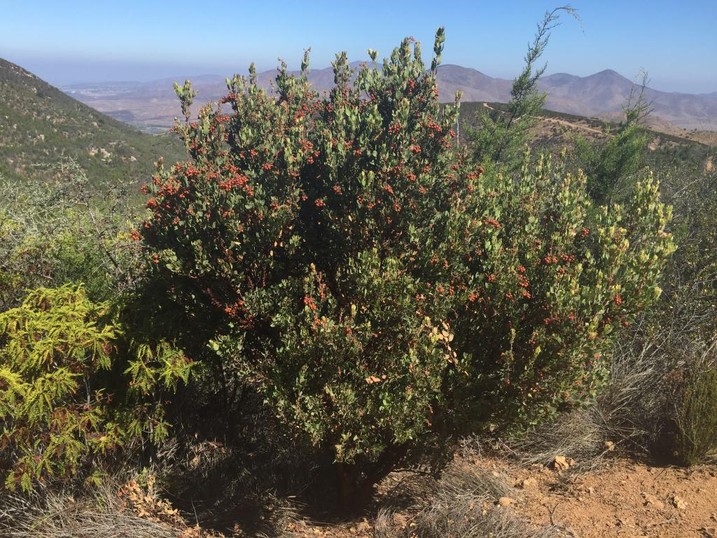 This shows an Otay manzanita shrub covered in fruit. Also pictured are some of Otay Mountain's other rare plants, including a couple of small Tecate cypress tress on the right.