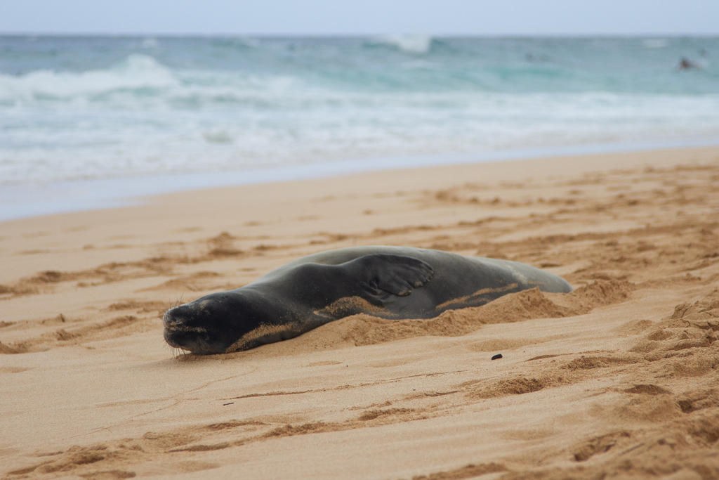 An endangered Hawaiian monk seal rests on a beach on Oahu's North Shore. Like many other species that call Hawaii home, the monk seal population has been affected by entanglement in marine debris. Photo: Shannon Subers