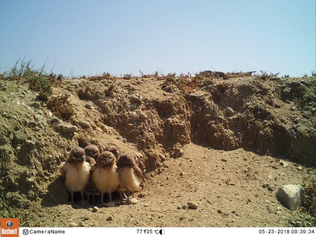 A successful nest in the Coachella Valley.