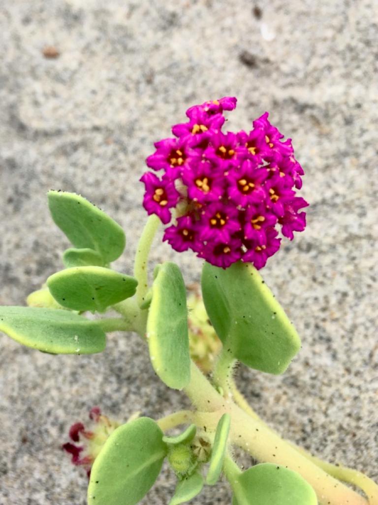 Red sand verbena,Abronia maritima(Photo by: Tawni Gotbaum, courtesy of Marine Corps Base Camp Pendleton)