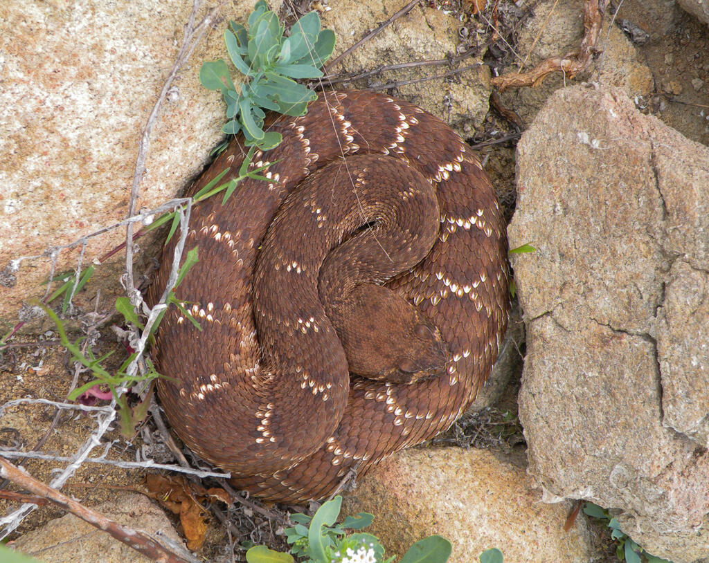 A beautiful red-diamond rattlesnake basking on a cool morning.