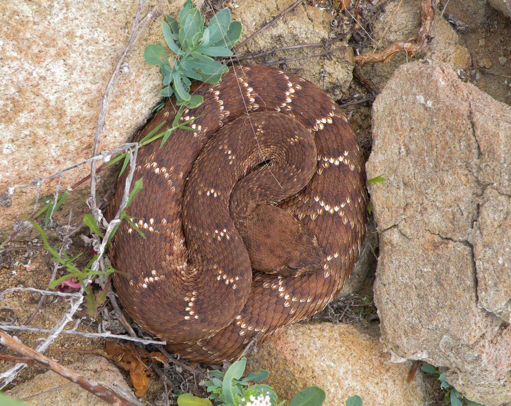 A beautiful red-diamond rattlesnake basking on a cool morning.