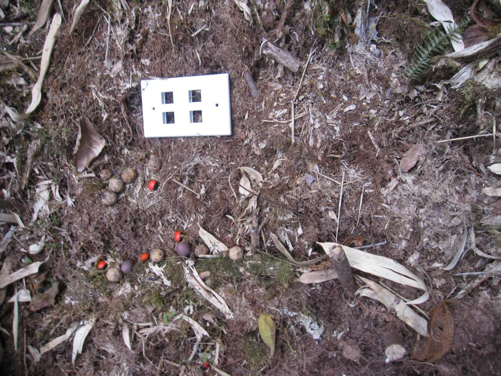 Taken on 26 July 2016 by Russ Van Horn. To measure the size of animals that take seeds, so that he can more easily identify the species of mammal, Danny Lough deployed a standardized piece of plastic next to each experimental group of seeds.