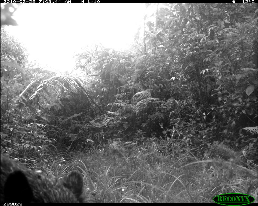 Taken on 28 February 2010 by a camera trap in SE Peru. I'm always interested in camera trap photos of wild Andean bears.
