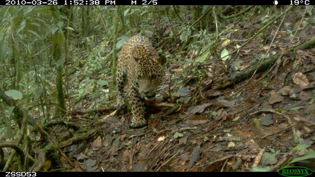 Taken on 26 March 2010 by a camera trap in SE Peru. A jaguar takes a self-portrait.