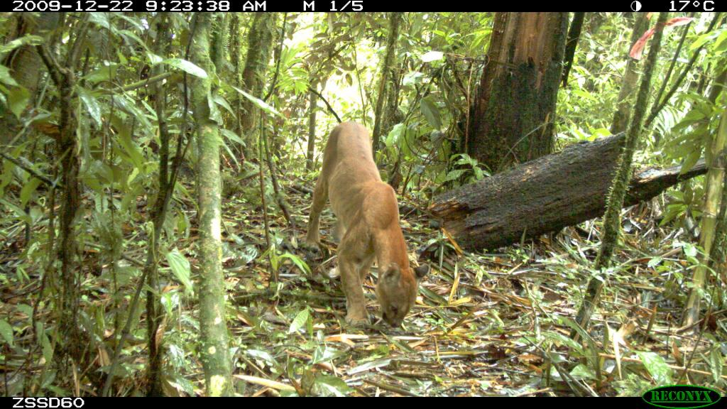 Taken on 22 December 2009 by a camera trap in SE Peru. I think most of the puma in photos from the cloud forest appear thin.