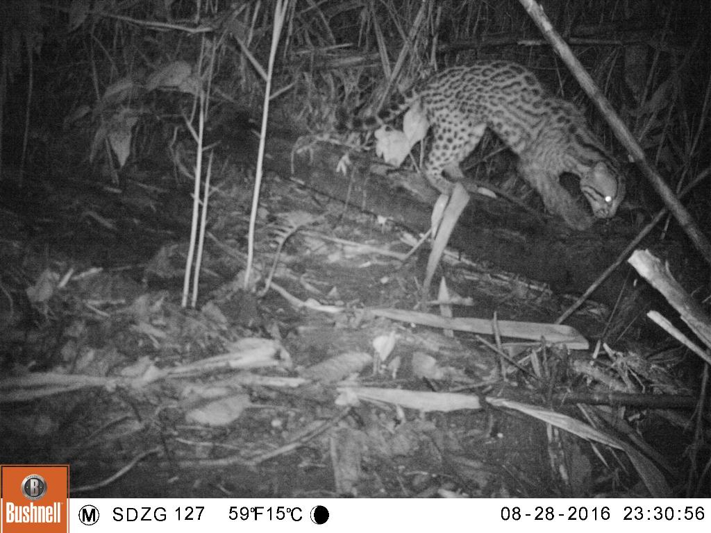 Taken on 28 August 2016 by a camera trap in SE Peru. This ocelot stretched and clawed on a log in a way that reminded me of a house cat.