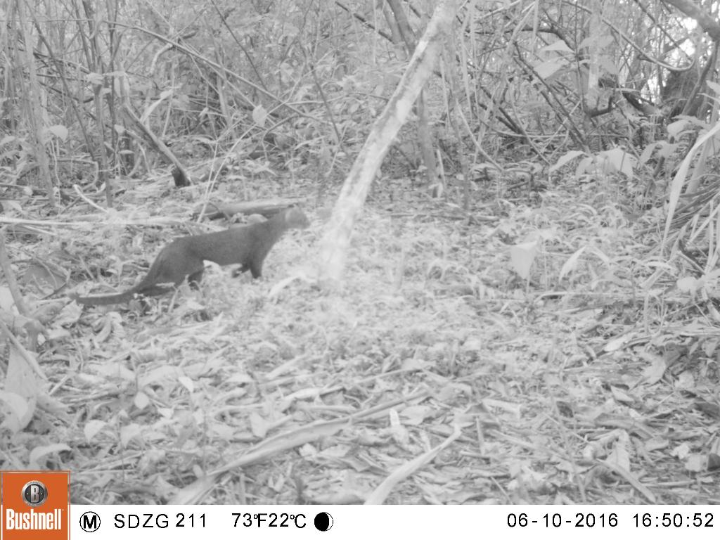 Taken on 10 June 2016 by a camera trap in SE Peru. There's no doubt about it; jagaurundi are neat to see, unless you're an opossum.