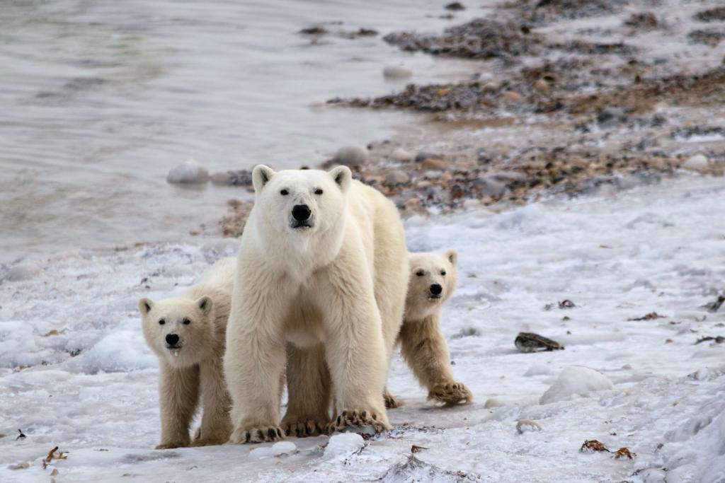 A female polar bear and her cubs waiting for sea ice along the shores of the Hudson Bay. Photo by Jenn Beening, SDZG.