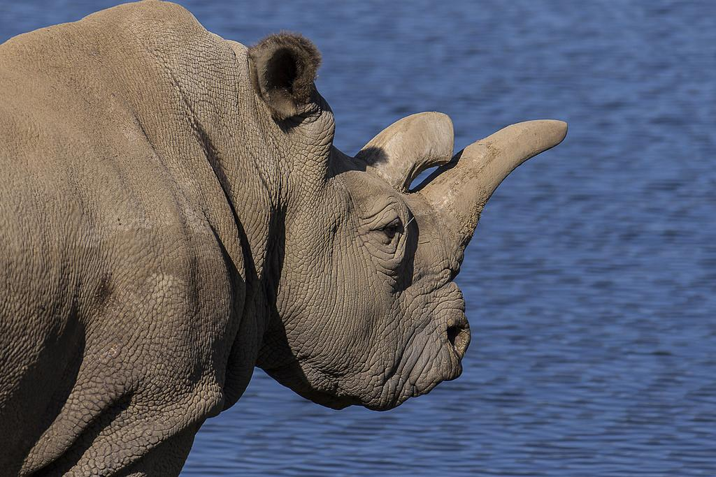 Wildlife trafficking has had a devastating effect on rhino populations.