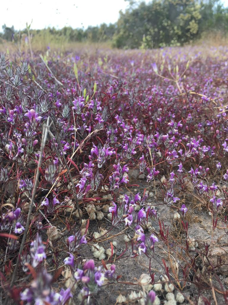 The San Diego mesa mint has a gray fuzzy calyx and reddish leaves. It's found in central San Diego County vernal pools and nowhere else on Earth.