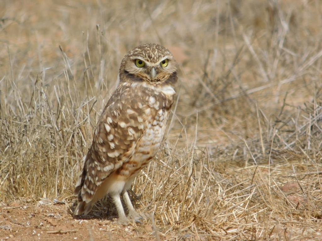 Burrowing owl on high alert in the Otay Mesa region of San Diego.  Photo: Austin Parker