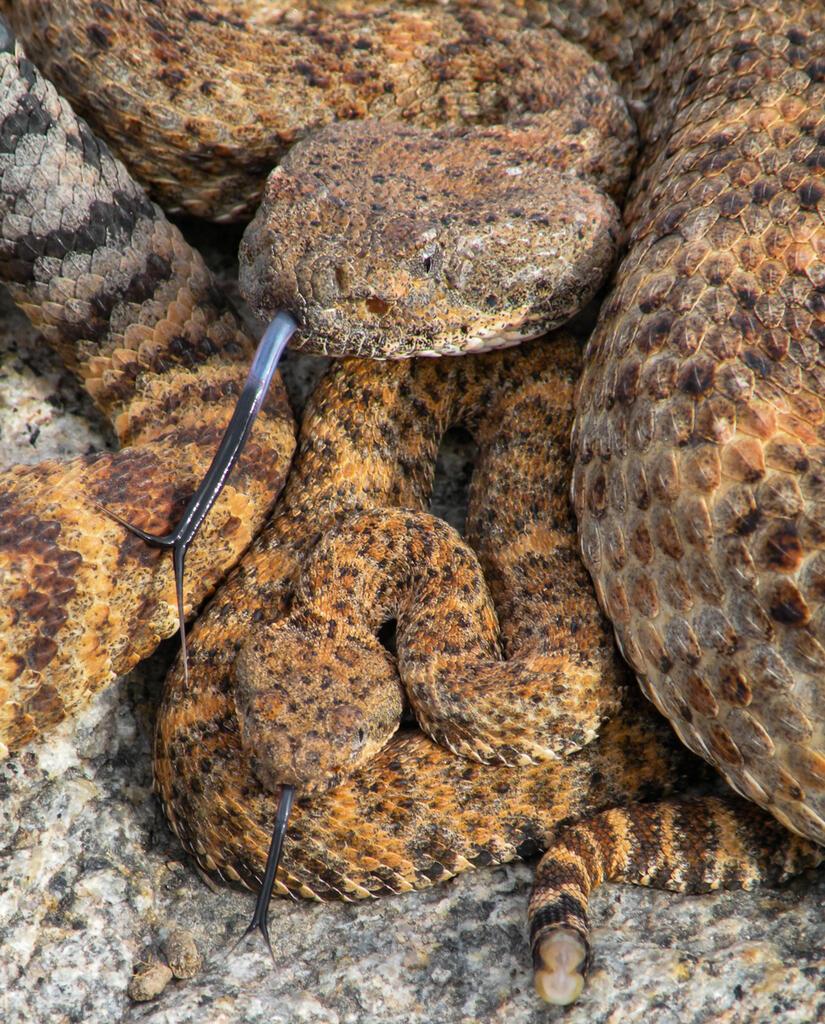 Southwestern speckled rattlesanke protecting a juvenile.
