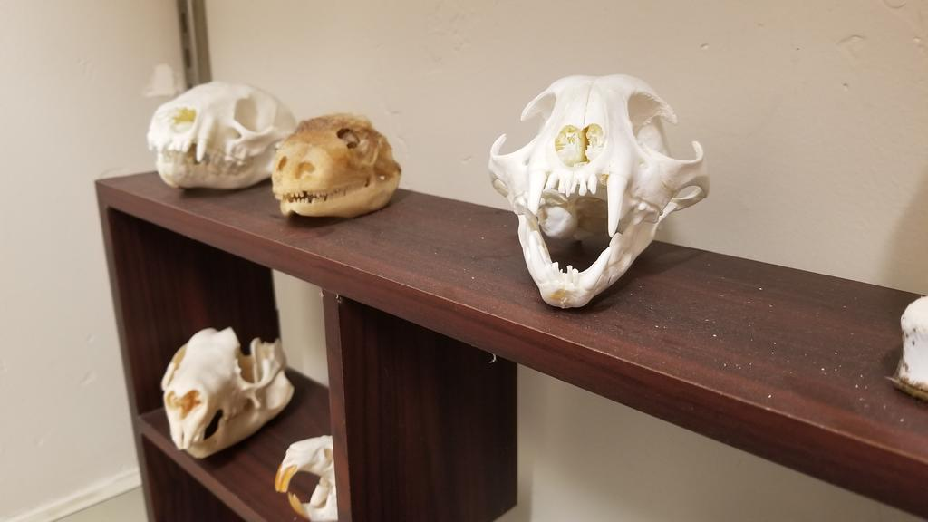 An assortment of animal skulls found in the Pathology lab
