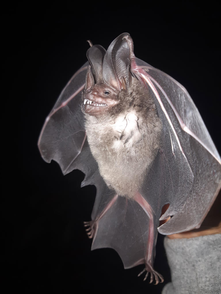 Lophostoma silvicolum: Male bat captured in primary forests within the Lower Urubamba basin, as part of environmental monitoring.  Photo credit Orlando Zegarra