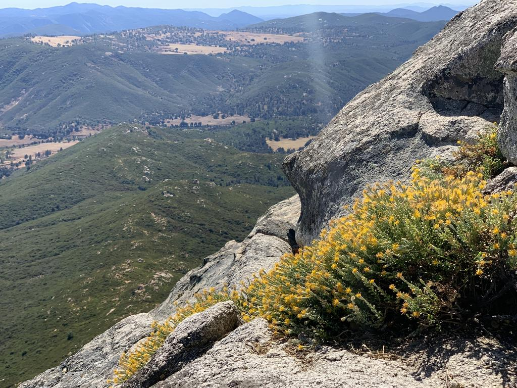 The Laguna Mountains goldenbush grows in the cracks and crevices of granite boulders and cliff faces. We are not afraid of heights, but seed collection was a challenge! Only 15 occurrences of this plant exist in the world. Photo by Stacy Anderson