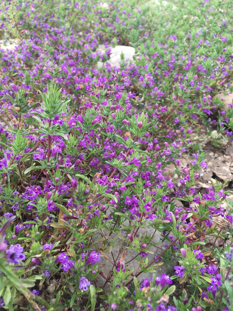 Otay mesa mint is much greener throughout its growth cycle, and has a smooth calyx. It is only found in the southern most part of San Diego County, just north of the border.