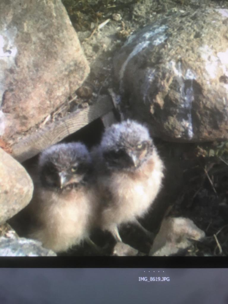 First emergence for nestling burrowing owls caught on a passive camera trap Photo: SDZG burrowing owl recovery group.