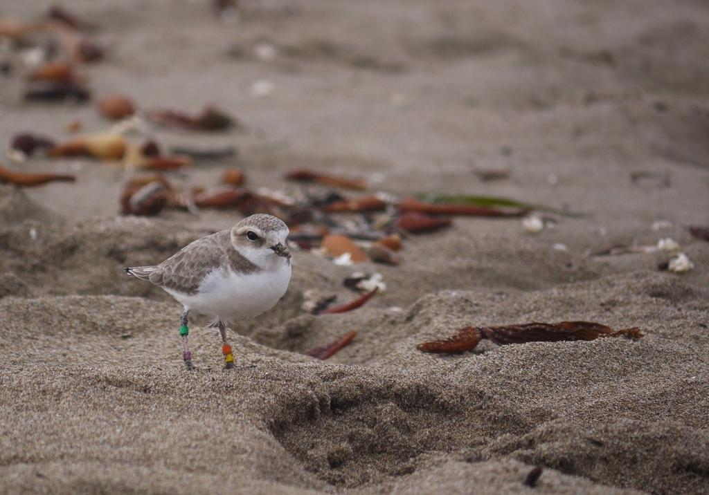 Western Snowy Plovers forage for invertebrate prey in wrack (seaweed) and along the shore, in dune vegetation, and in estuaries, mud flats, and salt pans. (Photo: Elena Oey)