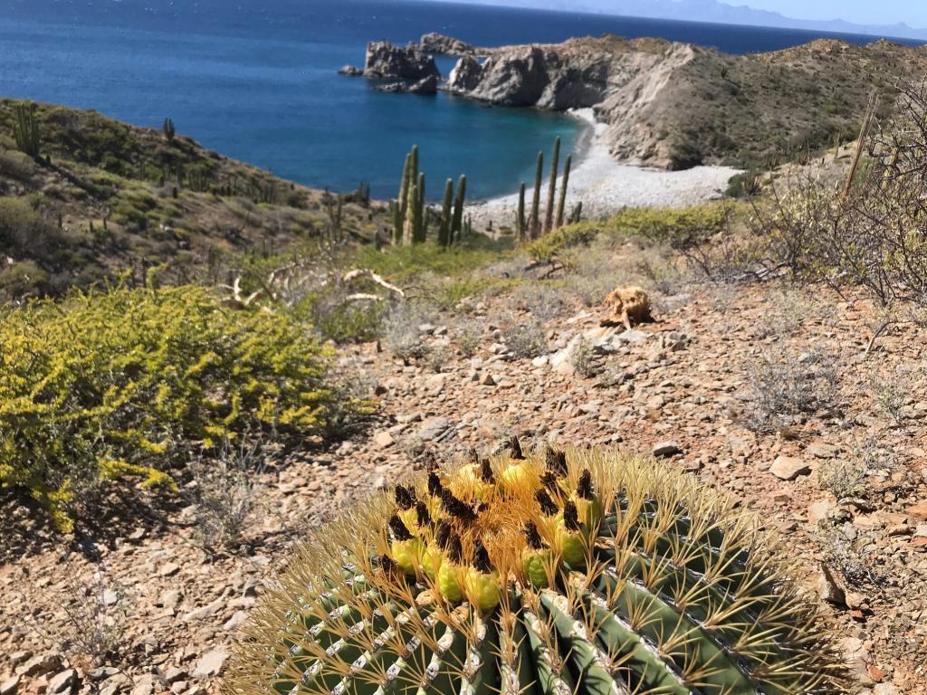 Barrel cactus (Ferocactus diguetiissp.catalinense) on Catalina Island.
