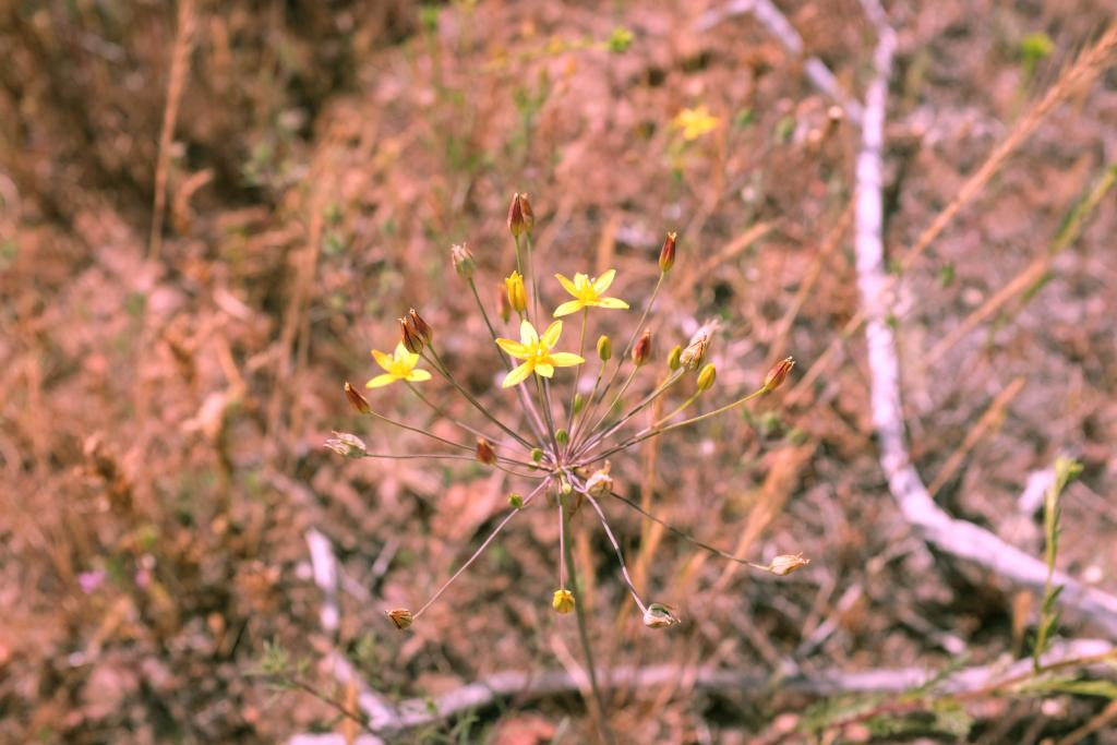 Bloomeria clevelandii is a beautiful rare bulb that is endemic to San Diego county and northern Baja. We made 4 different seed collections this year from populations throughout the county.