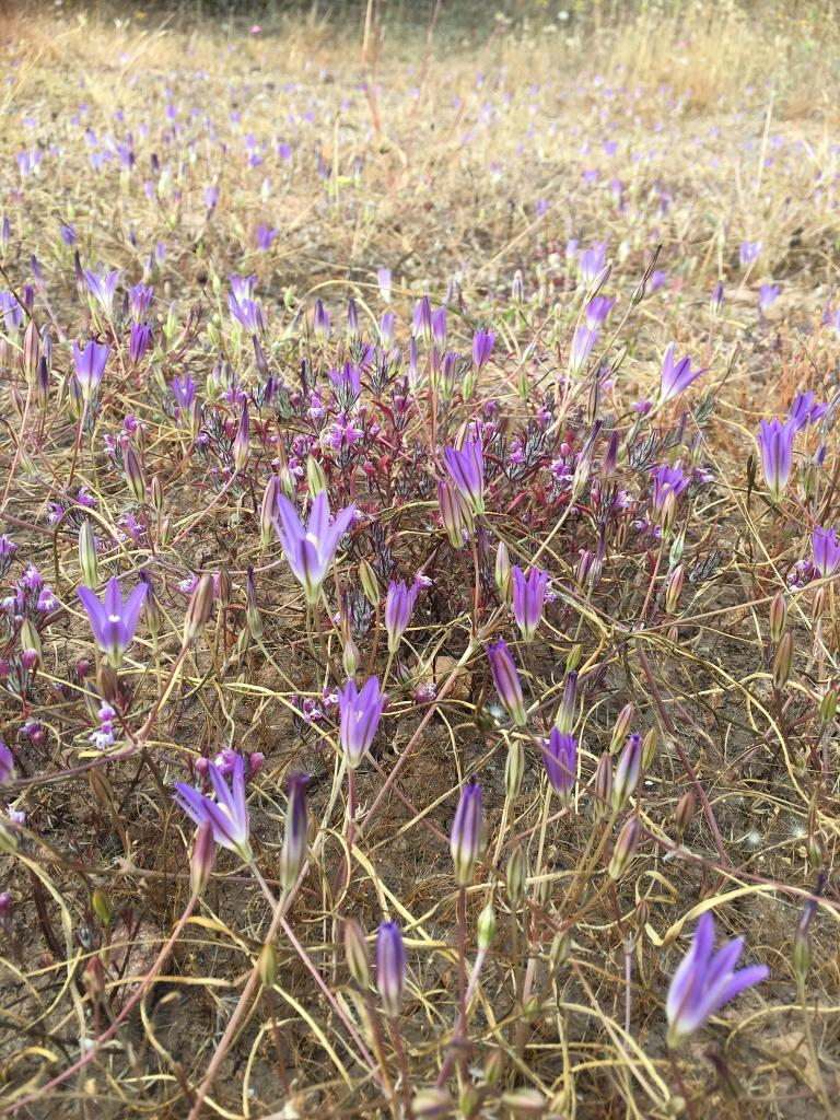 Brodiaea orcuttii is a bulb found only in small pockets across San Diego County, often in vernal pool habitats.