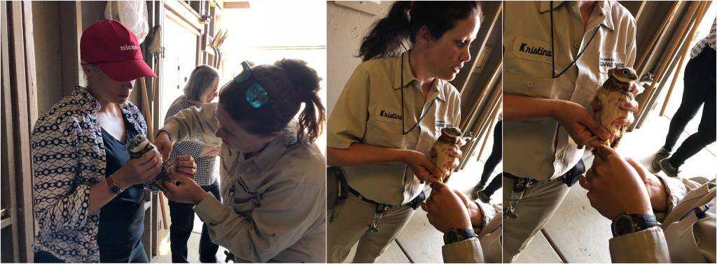 Jenny Tibbott and Susanne Marczak applying leg bands (left) and Kristina Heston holding a juvenile during West Nile Virus vaccination (middle, right). Photos by Kristina Heston and Jenny Tibbott.