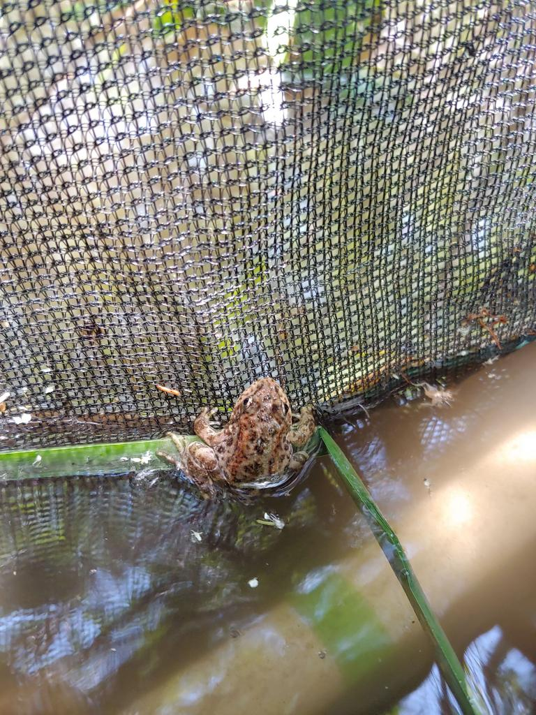 A mountain yellow-legged frog in its soft release enclosure.