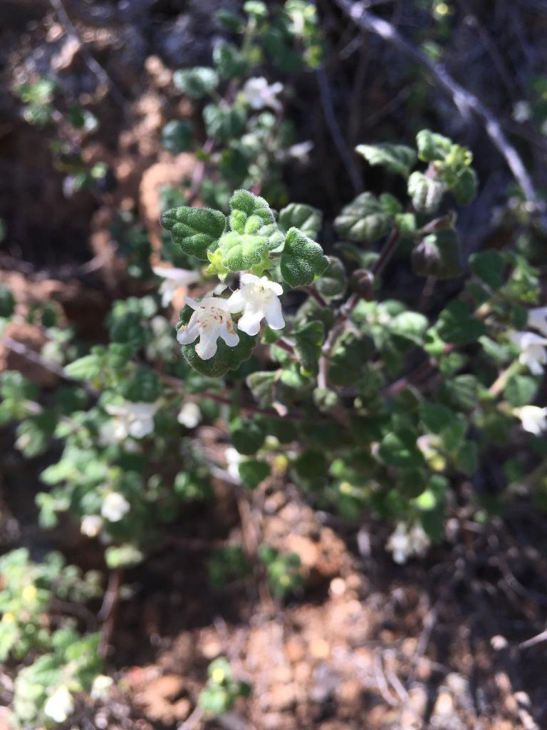 Clinopodium chandleri is in the mint family, the population is tucked in the underbrush along this trail.