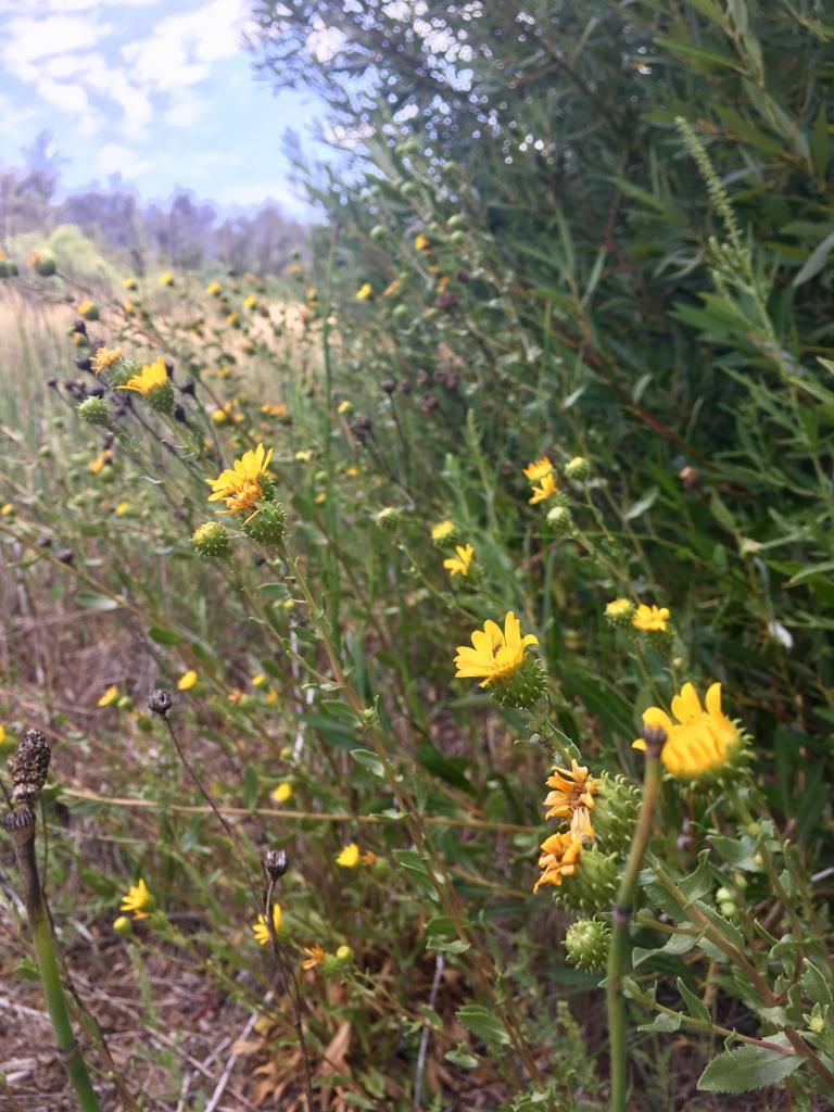 Grindelia hallii is known as the San Diego gumplant because of the sticky resin its buds produce.