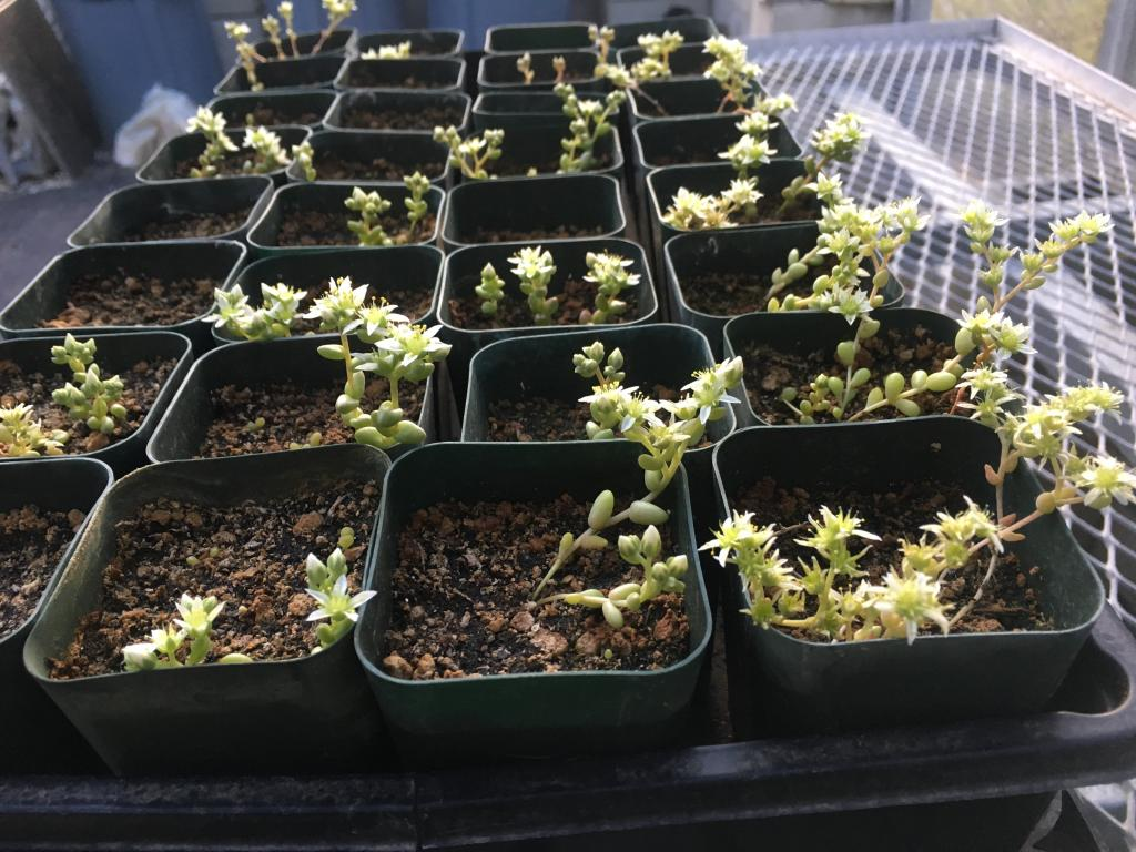 In 2017, San Diego Zoo Global grew a population of Dudleya brevifolia from wild-collected seed. A portion of these plants would be used in a population augmentation experiment in early 2019.