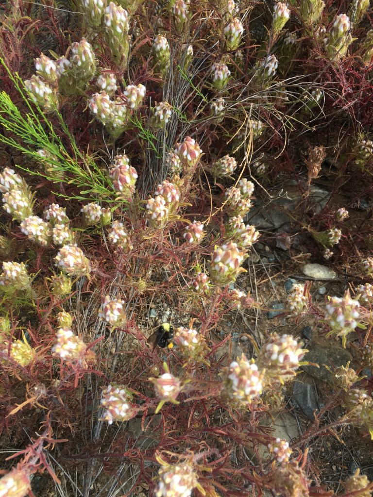 Dicranostegia orcuttiana is hemiparasitic. Photo by Joe Davitt