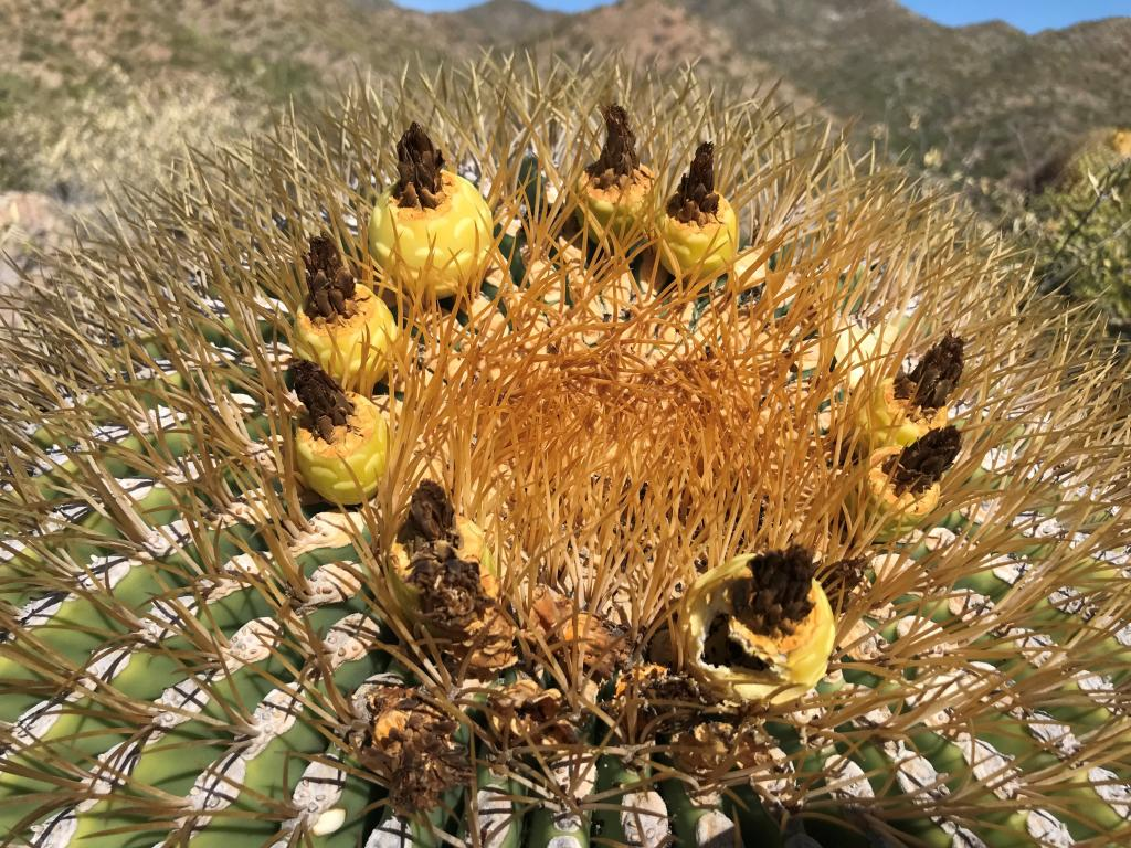 Extrafloral nectaries and ants on the barrel cactus.