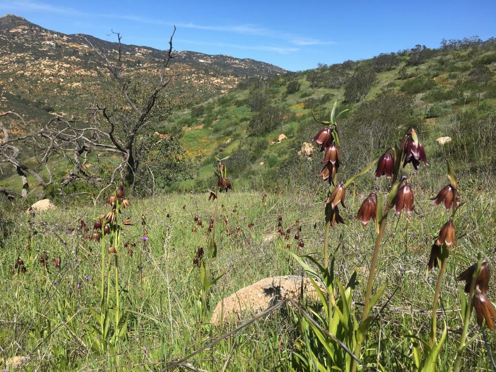 Chocolate lilies (Fritillaria biflora) are a bulb native to western California. This population was found in the south of San Diego County and we were able to make a seed collection this spring.