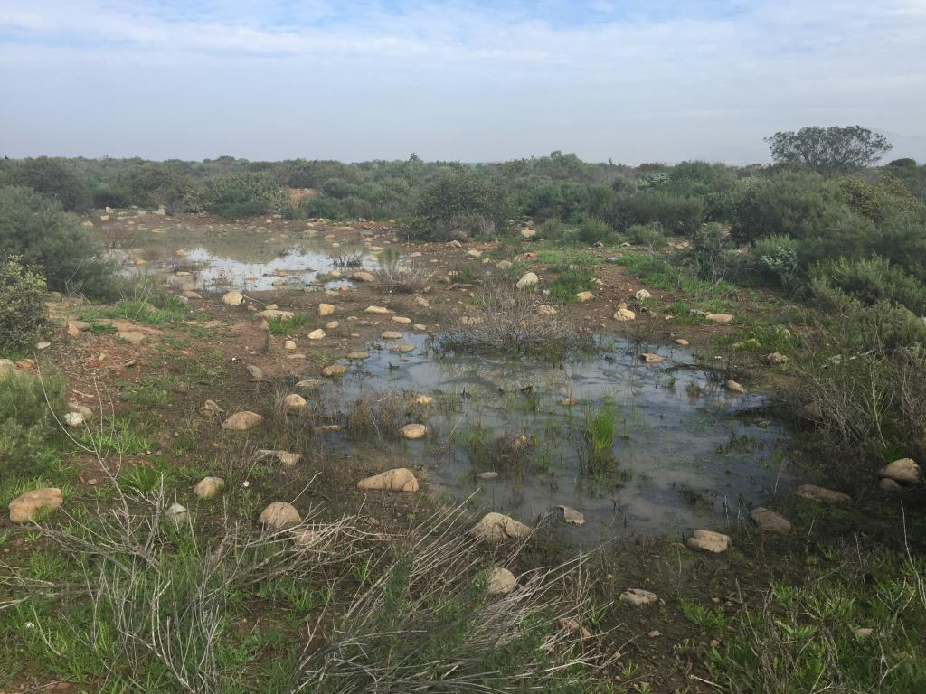 Vernal pools fill with rainwater in the winter and can remain full for months. Plants have adapted to grow in these seasonal wetlands, and are able to survive both the wet phase and the extreme dry phase that happens every summer and fall.
