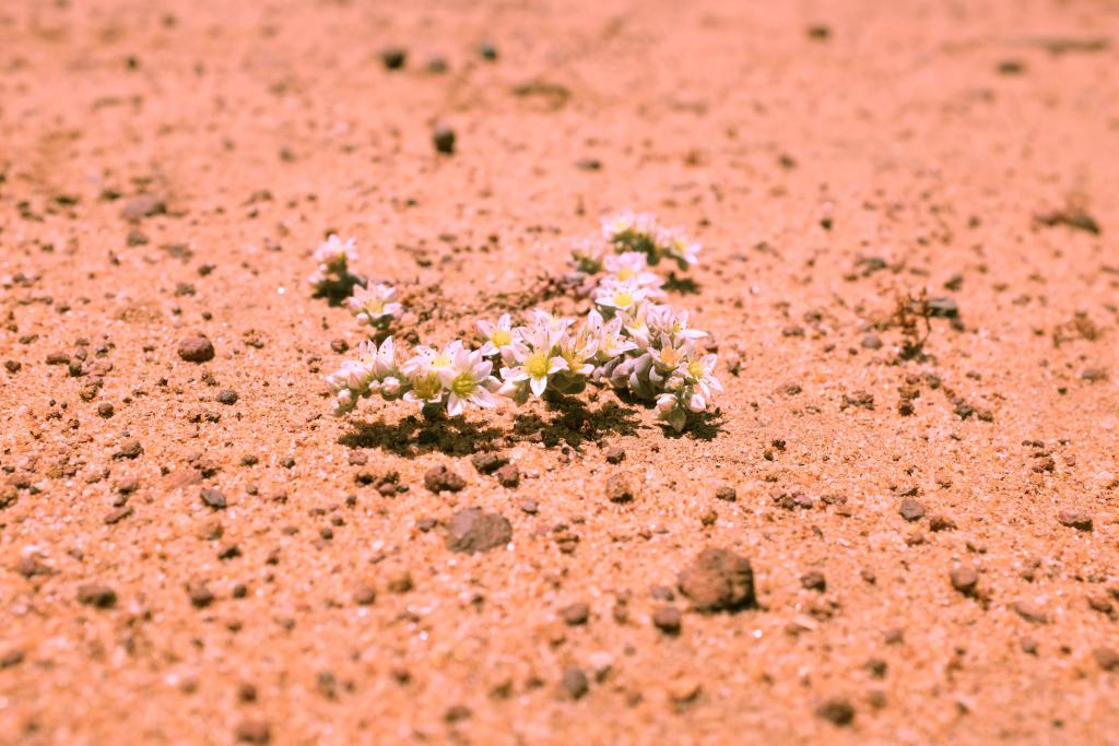 Dudleya brevifolia has only 5 wild populations left on the planet. We have a living collection, representing the smallest wild population, under our protection.