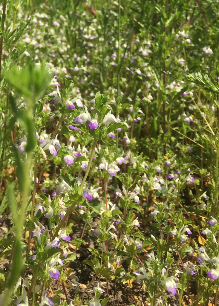 Without weed competition, thornmint will completely cover clay lenses each spring. They provide food for pollinators, habitat for animals and insects, and are an important piece of the ecosystem.
