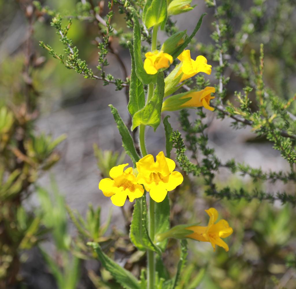 Mimulus clevelandii has beautiful yellow, tubular flowers with small red spots in the throat. Photo by Stacy Anderson
