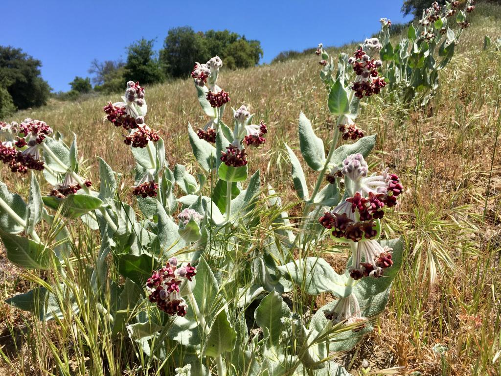This native milkweed is only found at elevations above 1,000 feet, and is an important food source for monarch butterflies.