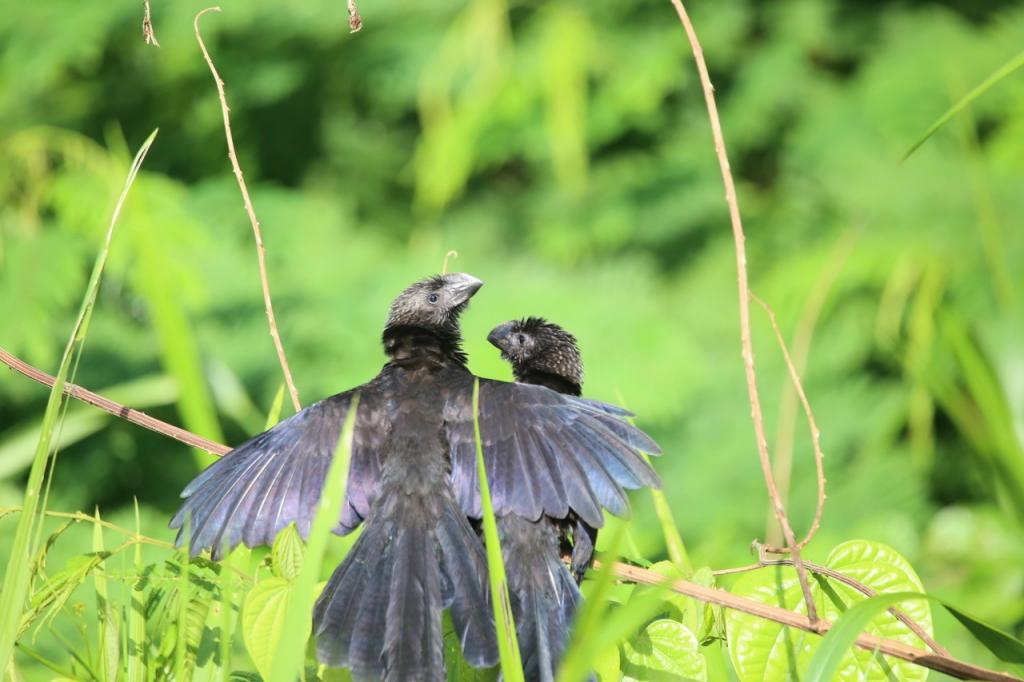 During the workshop breaks, participants enjoyed exploring Cashu's trails and oxbow lake. Pictured herea smooth-billed ani stretches a protective wing around its mate.