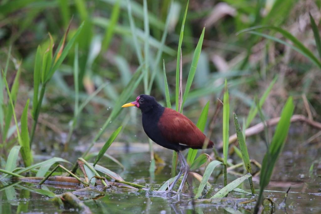 A wattled jacana uses its oversized feet to navigate the floating vegetation. Birding is a common activity during the down time while we wait for the gill nets to fill with fish. We also have a project measuring the abundance and diversity of birds along the oxbow lake shores, and how this is impacted by human disturbance.