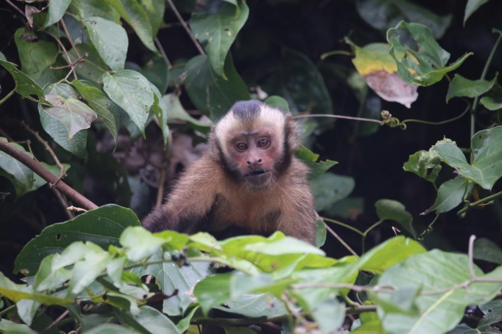 Overlooking the oxbow lake, a white-fronted capuchin pauses its foraging activities to check us out.