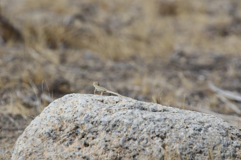 A side-blotched lizard searches. Photo by Emmeleia Nix