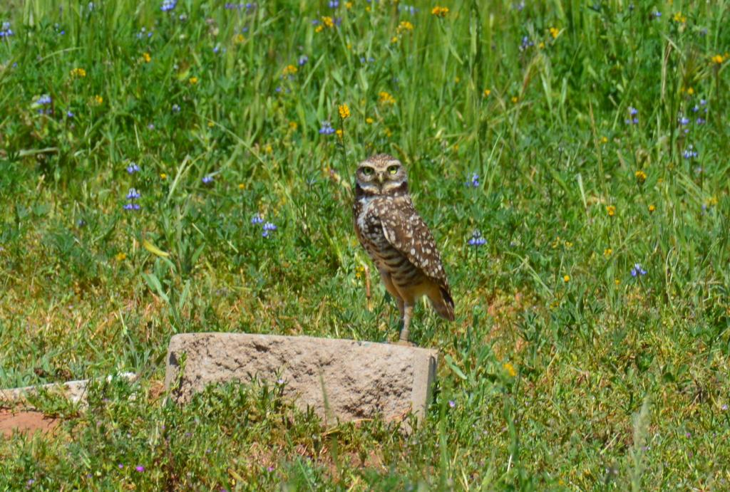 Female burrowing owl who was translocated to the reserve in 2018 and stayed to breed in 2019.