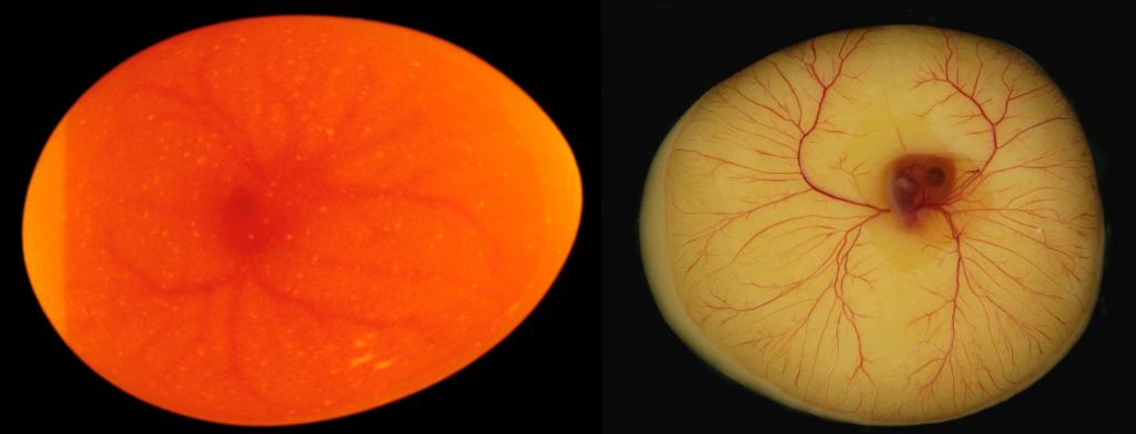 With and without the eggs shell; A four-day old chicken embryo as seen when candled, and out of the egg. (Photo by Thomas Jensen)